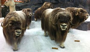 Cabela's - Musk oxen mounted and on display at store in Buda, Texas.
