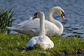 Mute Swan (pair), Nagai Park, Osaka.jpg