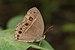 Mycalesis mineus-Kadavoor-2016-06-17-001.jpg