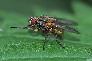 <i>Mydaea</i> genus of insects