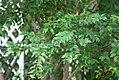 Myrciaria cauliflora 2zz.jpg