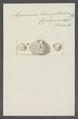 Myrmecium hemisphaericum - - Print - Iconographia Zoologica - Special Collections University of Amsterdam - UBAINV0274 112 03 0018.tif