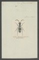 Myrmecoptera - Print - Iconographia Zoologica - Special Collections University of Amsterdam - UBAINV0274 009 02 0083.tif