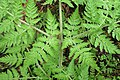 Myrrhis odorata kz08.jpg