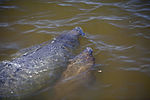 NASA Kennedy Wildlife - Manatee (7).jpg
