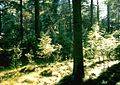 Nadelwald Bornholm.jpg