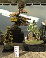 Nagoya Castle Chrysanthemum Competition 2017 15.jpg
