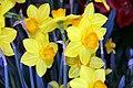 Narcissus Ceylon 2zz.jpg