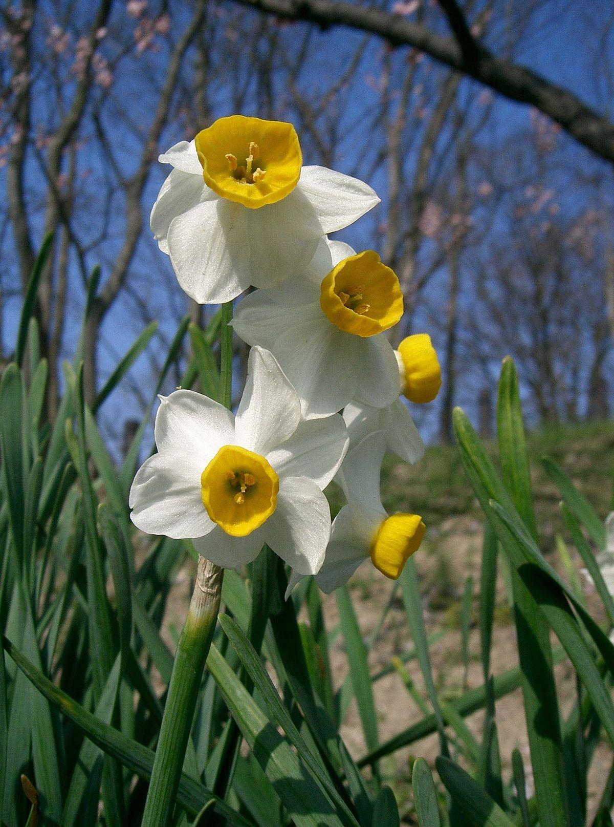 Narcissus tazetta var chinensis1.jpg