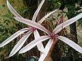 Nargis Flower.jpg