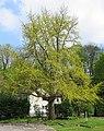 Naturdenkmal Ginkgo-Baum.JPG