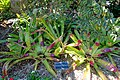 Neoregelia johannis - Marie Selby Botanical Gardens - Sarasota, Florida - DSC01724.jpg