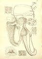 Nepenthes macfarlanei (upper pitcher) - Hooker's Icones Plantarum (1906).jpg