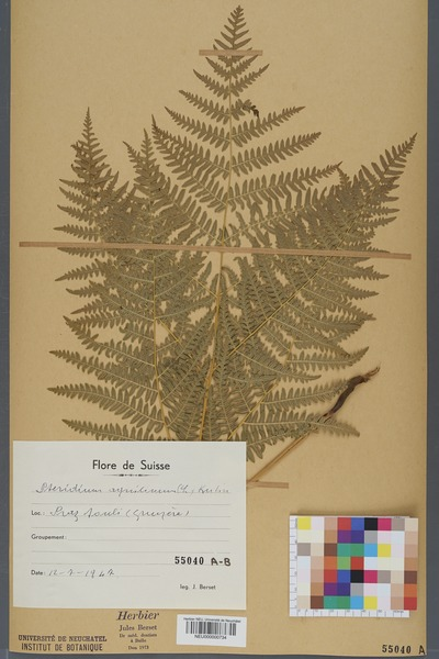 File:Neuchâtel Herbarium - Pteridium aquilinum - NEU000000734.tiff