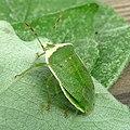 Nezara viridula. Pentatomidae. - Flickr - gailhampshire (1).jpg