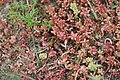 Noordwijk - Duinvilla (Villa modesta) on red plant.jpg