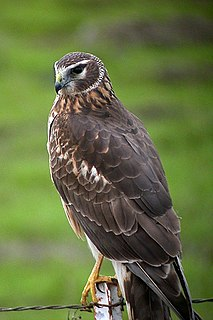 Northern harrier species of bird