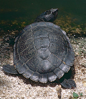 Saw-shelled turtle species of reptile