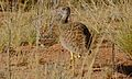 Northern Black Korhaan (Afrotis afraoides) female (6447485977).jpg