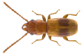 Notolaemus unifasciatus (Latreille, 1804).png