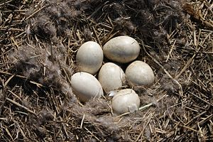 Greylag goose - Six eggs in the nest at Mekszikópuszta, Hungary
