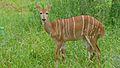 Nyala Female (Tragelaphus angasii) (6032426143).jpg