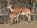 Nyala Tragelaphus angasii Tierpark Hellabrunn-25.jpg