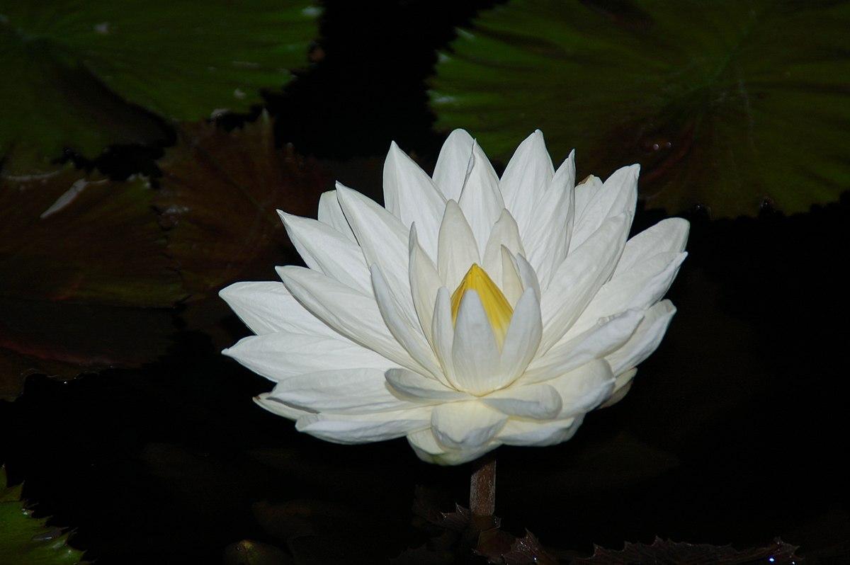 Lotus >> Lotus Antiquitas Vicipaedia