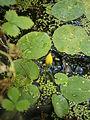 Nymphoides peltata bud.jpg