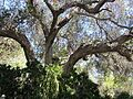 Oak in desert garden (7996903468).jpg