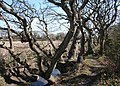 Oaks by drainage channel - geograph.org.uk - 1224061.jpg