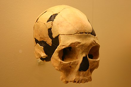 "Skull from the ""Cave with Bones"" (the oldest known remain of Homo sapiens in Europe). Oase 2 skull (Homo sapiens).jpg"