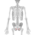 Obturator foramen 01 posterior view.png