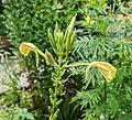 Oenothera biennis in Jardin des 5 sens (2).jpg