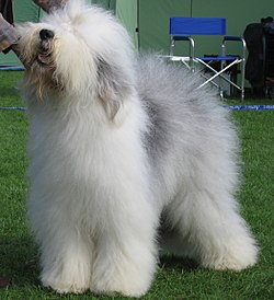 A show-standard Old English Sheepdog