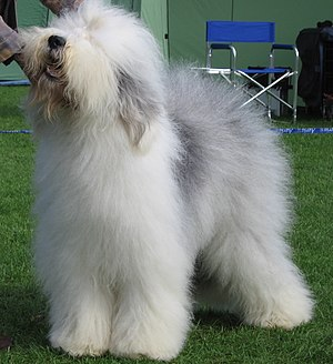 Sheep dog - An Old English Sheepdog.