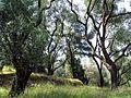 Olivenbaum Korfu.jpg