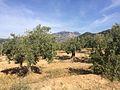 Oliveres de varietat Palomar des de Can Llimona.jpg