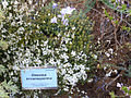 Onosma tricerosperma Placa 2010-7-17 JardinBotanicoHoyadePedraza.jpg
