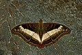 Open wing bsking of Parasarpa dudu Westwood, 1850 – White Commodore WLB DSC 0407.jpg