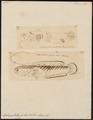 Ophiocephalus gachua - 1700-1880 - Print - Iconographia Zoologica - Special Collections University of Amsterdam - UBA01 IZ13800075.tif