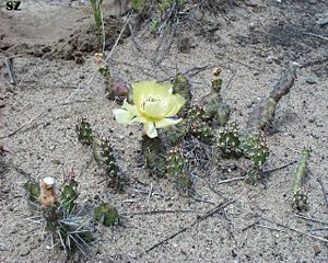 Opuntia - Little prickly pear Opuntia fragilis