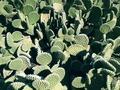 Opuntia microdasys - Polka-dot Cactus Las Cruces NM.tiff