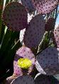 Opuntia santa-rita 2.jpg