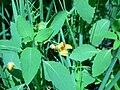 Orange jewelweed (Whitefish Island) 2.JPG