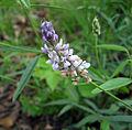 Orbexilum pedunculatum.jpg