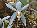 Orchid (Coelogyne swaniana) (15493215771).jpg