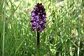 Orchidea selvatica.jpg