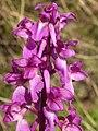 Orchis mascula B35.JPG