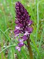 Orchis x hybrida (1).JPG